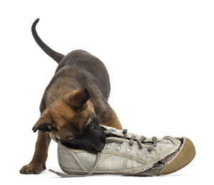 Belgian Shepherd puppy playing with a sneaker