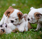 Bulldogs Playing