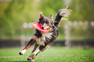 Border Collie Running with Frisbee