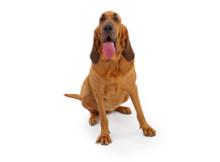 Human Scent Evidence Dog