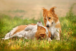 Rabies Vaccinated Dogs
