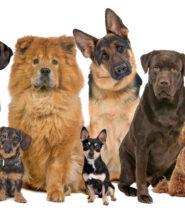 Dogs, Lyme Disease